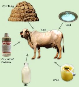 Panchagavya and vaccination