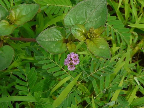 Boerhaavia diffusa